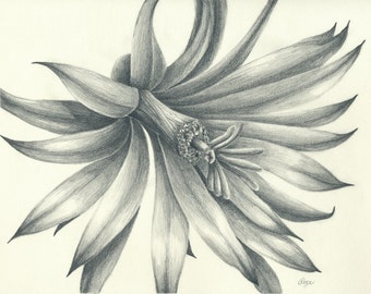 Cactus Flower Original Pencil Drawing