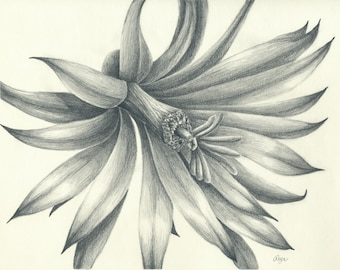 Little Cactus Flower Pencil Drawing 8x10 Print