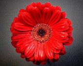 Red Daisy - Fine Art Photo on 5x5 Bamboo Panel