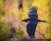 Raven in Flight 8x10 Fine art photograph