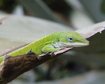 Lizard Lounge - Chameleon Green Nature Photography Science Kid Fine Art Lustre Print - 8x10 Photograph