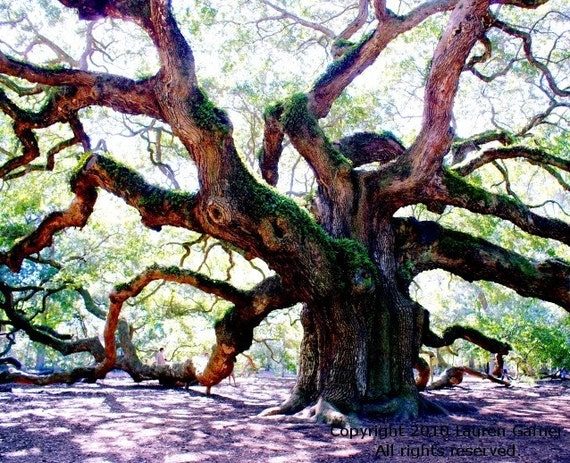 Angel oak tree wood woodland charleston sc photography south
