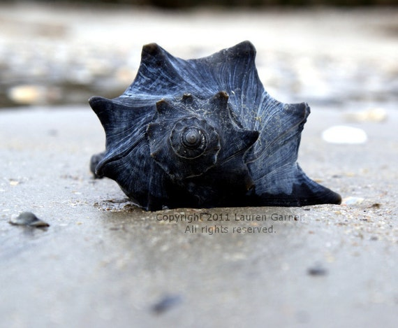 Shell as Old as Time - Conch Whelk Welk Photography Nautical Beach Blue Black Fine Art Print Home Decor Wall Hanging - Photograph