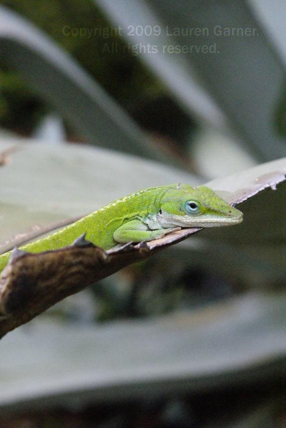 Lizard Lounge - Chameleon Green Nature Photography Science Kid Fine Art Lustre Print - 8x10 Photograph