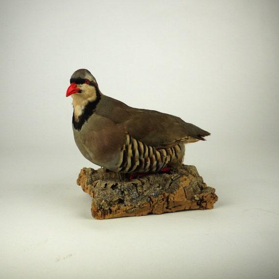 Antique Arizona Chukar Standing Bird Mount Taxidermy