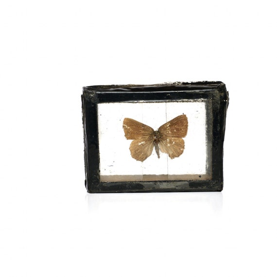 Antique Butterfly Specimen, Mounted Conservationist Shadowbox