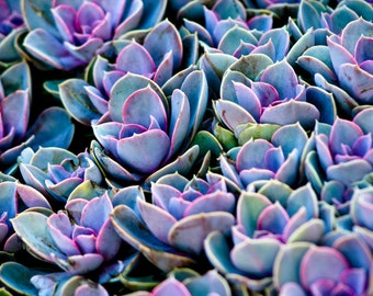 Photograph Vibrant Violet Purple Clustered Abstract Cacti Succulents Nature Botanical Fine Art Horizontal Art Print Canada Travel Home Decor
