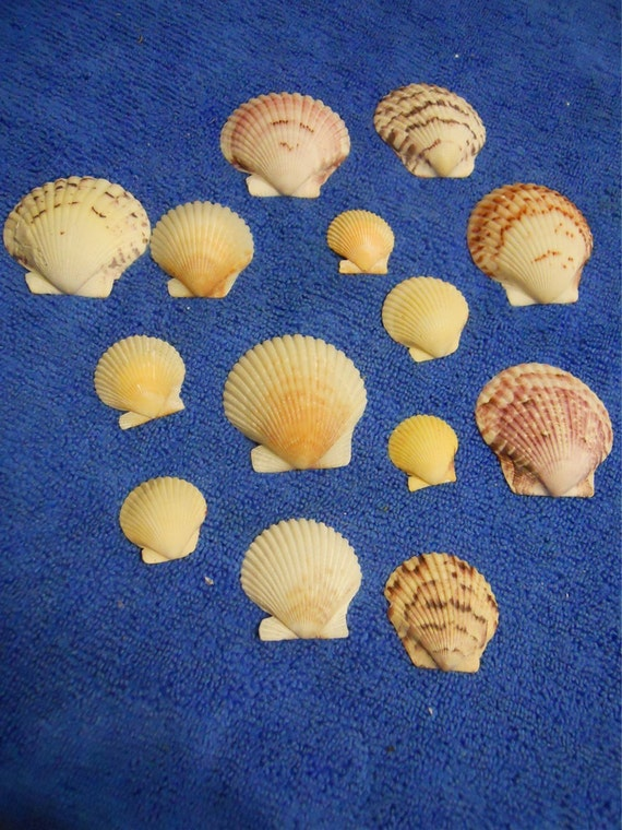 Various calico scallop sea shells crafts jewelry beach - Scallop shells for crafts ...