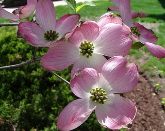 1 PINK DOGWOOD SEEDLING