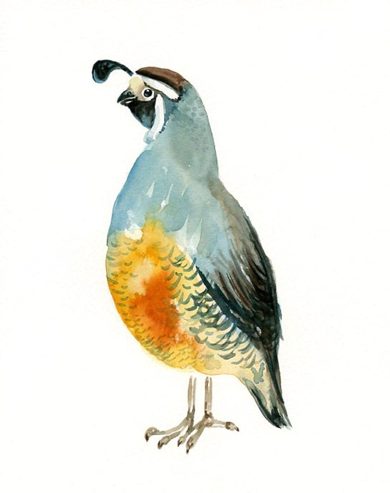 California Quail By Dimdi Original Watercolor Painting
