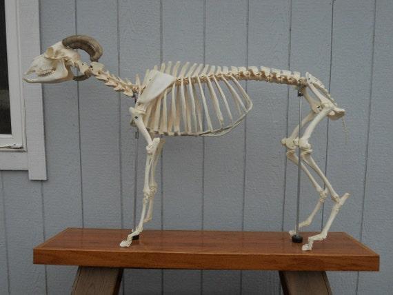 Articulated Domestic Goat Skeleton- Capra aegagrus hircus- Osteological Specimen