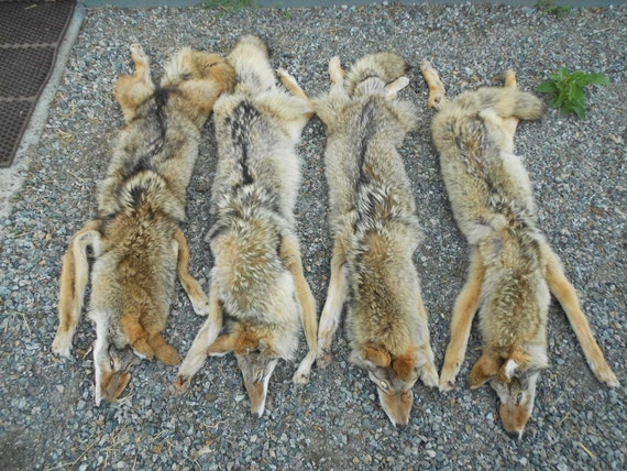 RESERVED For Skinnedwulf Taxidermy Quality BIG Washington Coyote- Lifesize Soft Tanned Lot No. 4512R
