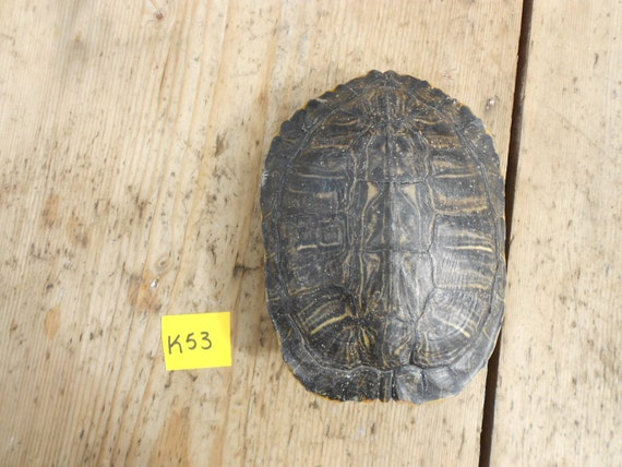 Large Red Eared Slider Turtle Shell  - Lot No. K53