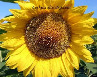 Yellow Sunflower seeds - TX Extra large size! 100+ seeds, Gifts for teachers, summer fall flower seeds, gifts for gardeners
