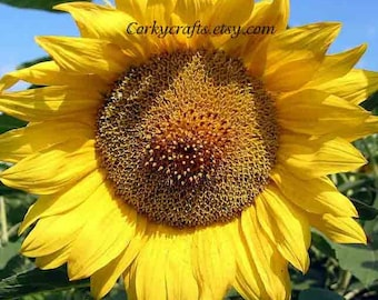 Sunflower seeds   Texas size flowers - Extra large size!