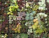 "10 Succulent Assorted Plants in 3"" Plastic Pots - DIY :  Wedding, Guest Favors, Terrarium, Centerpieces, Gardens"