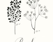 Parsley 8.5x11 -Culinary Art- Collection