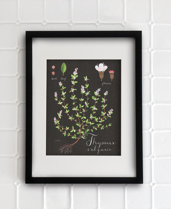 Thyme print 8.5x11 - Botanical collection - flower plant herbs -