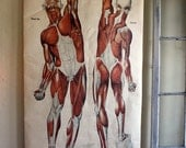 1918 American Frohse Anatomical Wall Chart
