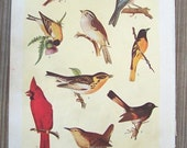 American Song Birds, a full color print from 1923