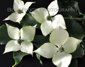 Dogwood Blossoms - Set of two 8 x 8 Fine Art Photography Watercolor Prints