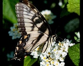 TTV macro photograph, Tiger Swallowtail Butterfly, 8x8 fine art print, animal photography