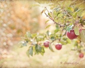 Autumn Photograph - Fall Apple Orchard Photo, Harvest, Country Fruit Trees, Large Wall Art, Home Decor