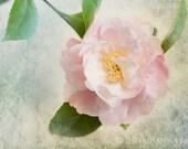Spring Camellia Photograph -  Romantic Pink Spring Blossoms, Fine Art Photo, Wall Art, Home Decor