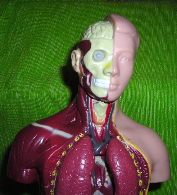 Human Anatomy Torso / Exposed Organs /  Medical Anantomy