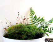 Mood Moss For Terrariums Fresh and Green