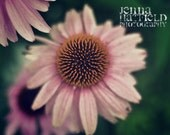 Fine Art 8x10 Photograph Print of Echinacea Flower