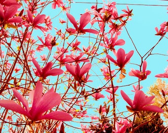 Flower Photo of a Japanese Magnolia titled Reverie -- Limited Editions in Various Sizes
