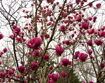 Pink Magnolia Photograph titled The View -- Limited Editions in Various Sizes