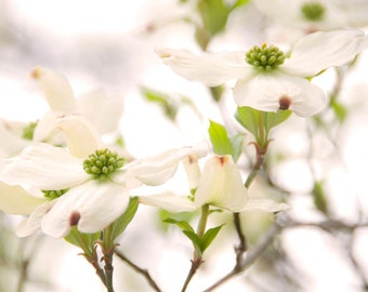 Dogwood Flower Photograph titled Georgia Romance -- Limited Editions in Various Sizes