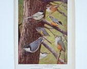 Vintage Color Plate, Birds of America, 1936
