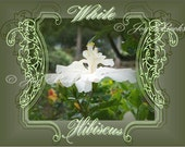 WHITE HIBISCUS Note Card