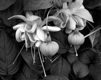 Fine Art Photography - Fuchsias in Black and White