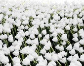 White Tulips in the Wind - Chicago - SQUARE - Photography Print - Flowers - Spring - Field of Flowers - Flores - Cold - windy