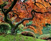 Autumn Photo Fall Colors Red Maple Japanese Garden Photograph Autumn Colors Red Leaves Tree nat3