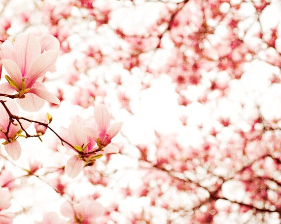 Flower photography floral photograph magnolia tree light pink white pastel wall art shabby chic summer  fine art nursery decor 8x10