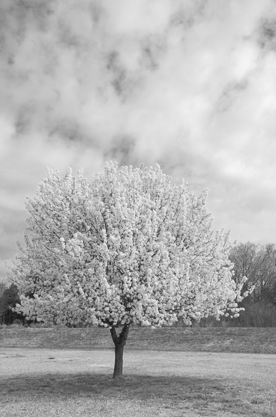 Pear Tree in Bloom No 1, 8x10 image of spring