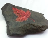Red Baby Maple Leaf on German Natural Slate Rock