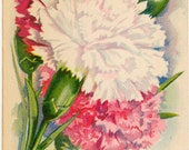 CARNATION! (Finest Mixed) Vintage Flower Seed Packet Tuckers Seed House Lithograph (Carthage, Missouri)