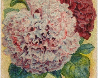 PETUNIA! (Finest Double Mixed) Vintage Flower Seed Packet Tuckers Seed House Lithograph (Carthage, Missouri)