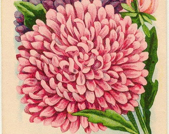 ASTER! (Giant Branching Finest Mixed) Vintage Flower Seed Packet Tuckers Seed House Lithograph (Carthage, Missouri)