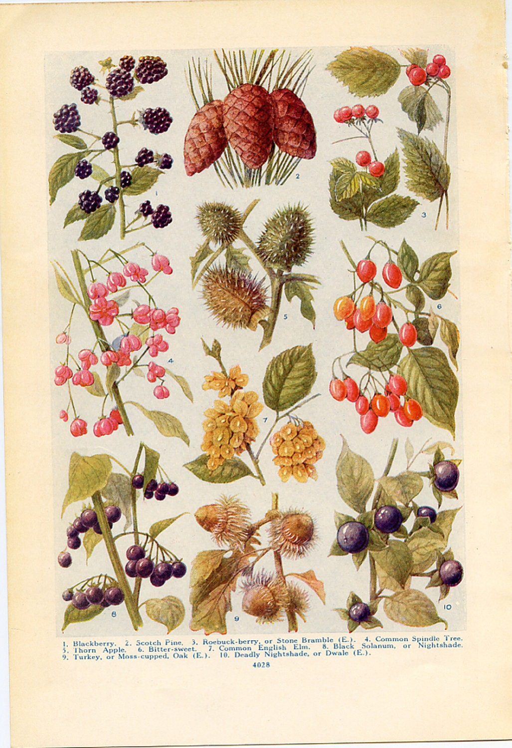 Vintage Botanical Prints Wild Fruits Of The Countryside