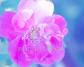 Chuckles The Rose - 4X6 Fine Art Photograph - margaretlillian
