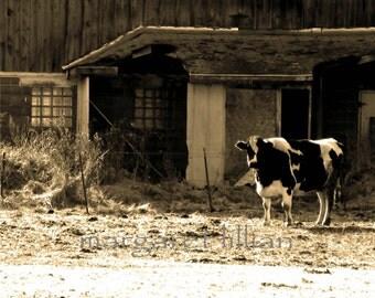 Cow and Barn - 5X7 Fine Art Photograph
