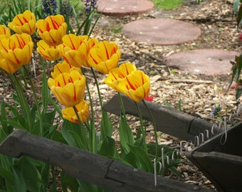 Photograph - Garden Cart -  Red and Yellow Tulips, Stepping Stones, and Wooden Cart in Holland, Michigan
