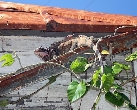 Iguana in the Gutter, St. Thomas USVI - 8x10
